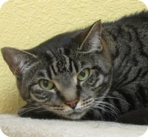 Domestic Shorthair Cat for adoption in Benbrook, Texas - Emma