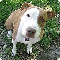 American Staffordshire Terrier Mix Dog for adoption in Detroit, Michigan - Vayda