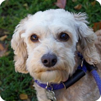Poodle (Miniature) Mix Dog for adoption in Eatontown, New Jersey - Snoopy