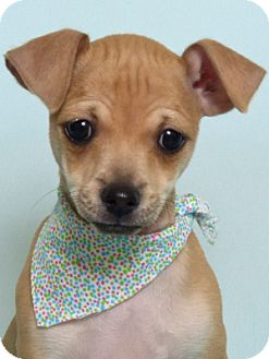 Chihuahua Mix Puppy for adoption in Kerrville, Texas - Liam