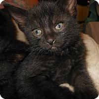 Adopt A Pet :: Morgana - Reston, VA