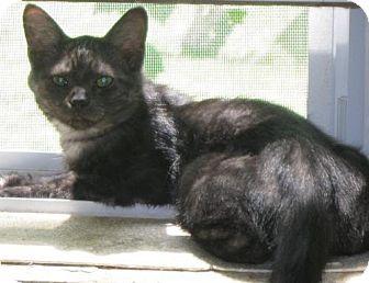 Domestic Shorthair Cat for adoption in Newburgh, Indiana - Grady-Smoke !
