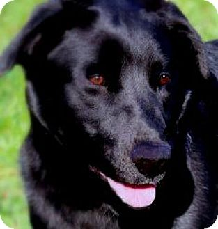 Labrador Retriever Mix Dog for adoption in Winchester, Kentucky - CHASE(THROWN AWAY!! PLS READ!!