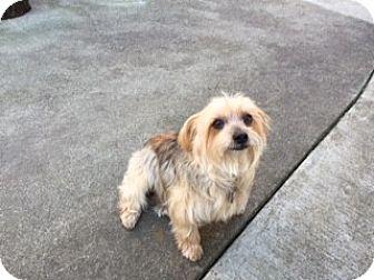 Yorkie, Yorkshire Terrier/Shih Tzu Mix Dog for adoption in Oakland, California - BETH