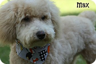 Poodle (Miniature) Dog for adoption in Cranford, New Jersey - Max