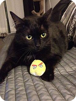 Domestic Shorthair Cat for adoption in THORNHILL, Ontario - Olivia