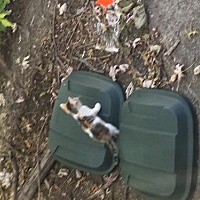 Adopt A Pet :: Stray cat and 6 kittens* - Trexlertown, PA