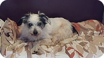 Terrier (Unknown Type, Small) Mix Dog for adoption in Bend, Oregon - Sidney - Special Needs