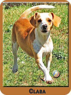 Dachshund Mix Dog for adoption in Hillsboro, Texas - Clara