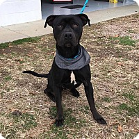 Adopt A Pet :: Snape - Durham, NC
