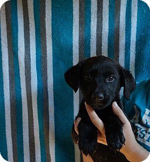 Labrador Retriever/Golden Retriever Mix Puppy for adoption in Oviedo, Florida - Byron