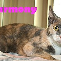 Domestic Shorthair Cat for adoption in East Stroudsburg, Pennsylvania - Harmony