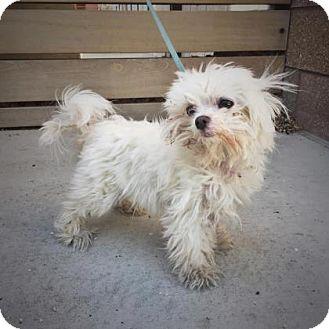 Maltese Mix Dog for adoption in Denver, Colorado - Jewels