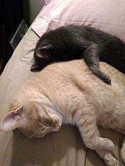 Domestic Shorthair Cat for adoption in Yorktown, Virginia - Bear