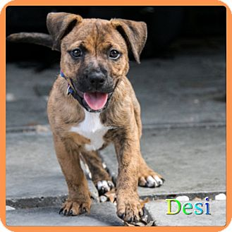 Terrier (Unknown Type, Small) Mix Puppy for adoption in Hollywood, Florida - Desi