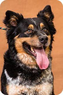 Australian Cattle Dog Mix Dog for adoption in Chesapeake, Virginia - Prince John Legend 35239807