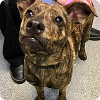Adopt A Pet :: Duchess - Lincolnton, NC