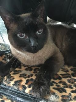 Siamese/Domestic Shorthair Mix Cat for adoption in Brooksville, Florida - Scampi
