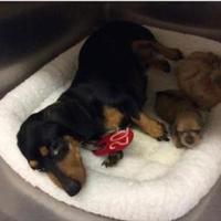 Dachshund Mix Dog for adoption in Fairfax Station, Virginia - Sally Pup #1