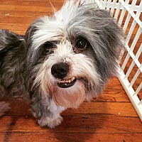 Shih Tzu/Lhasa Apso Mix Dog for adoption in Astoria, New York - Squeaker