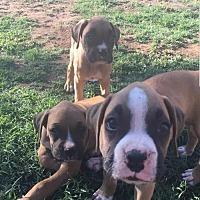 Adopt A Pet :: Boxer Puppies - Los Angeles, CA