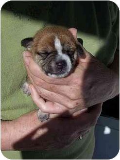 Schnauzer (Miniature)/Beagle Mix Puppy for adoption in Ripley, Ohio - Rowan