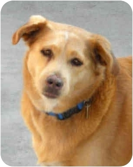 Golden Retriever/Shepherd (Unknown Type) Mix Dog for adoption in Rolling Hills Estates, California - Cassie-URGENT