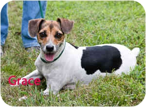 Beagle/Jack Russell Terrier Mix Dog for adoption in Clarkesville, Georgia - Grace