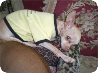 Chihuahua Dog for adoption in spring valley, California - Pinky/ LOST DOG