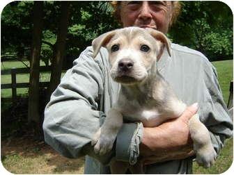 Husky/Labrador Retriever Mix Puppy for adoption in Bel Air, Maryland - Koda