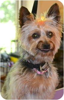 Yorkie, Yorkshire Terrier Dog for adoption in Greensboro, North Carolina - Maggie