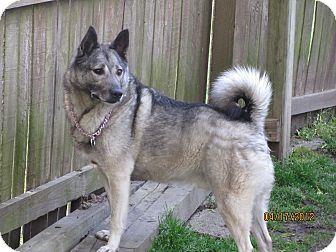 Norwegian Elkhound Dog for adoption in Belleville, Michigan - Petey