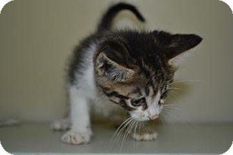 Domestic Shorthair Kitten for adoption in Edwardsville, Illinois - Piglet
