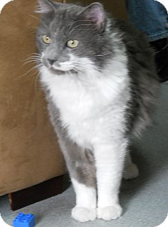 Domestic Longhair Cat for adoption in Colorado Springs, Colorado - Adam