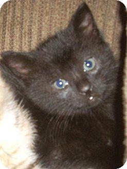 Domestic Shorthair Kitten for adoption in Horsham, Pennsylvania - Salem