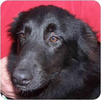 Border Collie/Labrador Retriever Mix Dog for adoption in Marion, Arkansas - Donovan