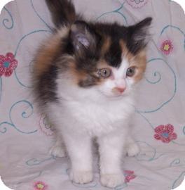 Domestic Mediumhair Cat for adoption in Larned, Kansas - Sage