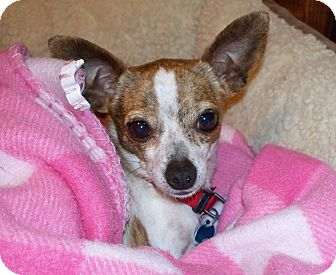 Chihuahua Dog for adoption in AUSTIN, Texas - ROSIE
