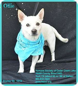 Terrier (Unknown Type, Small)/Chihuahua Mix Dog for adoption in Plano, Texas - Ollie