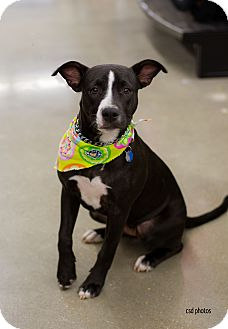 Pit Bull Terrier/Terrier (Unknown Type, Medium) Mix Puppy for adoption in Baton Rouge, Louisiana - Pearl