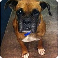 Adopt A Pet :: Allie - Arlington, TX