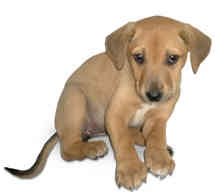 Labrador Retriever Mix Puppy for adoption in Marina del Rey, California - Annie Boop