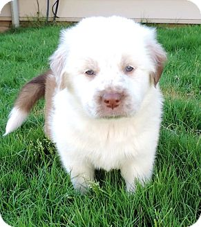 Great Pyrenees Mix Puppy for adoption in Charlotte, North Carolina - Jozy (FIFA Litter)