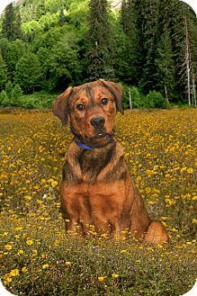 Rottweiler/Mastiff Mix Dog for adoption in Salem, Ohio - Kovie