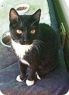 Domestic Shorthair Cat for adoption in Marietta, Georgia - Binx