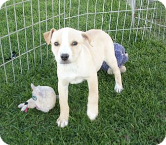 Labrador Retriever/Boxer Mix Puppy for adoption in Liberty Center, Ohio - Maggie
