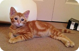 Domestic Shorthair Cat for adoption in San Marcos, Texas - Simba