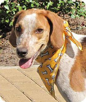 Beagle/Hound (Unknown Type) Mix Dog for adoption in Port St. Joe, Florida - Blossom