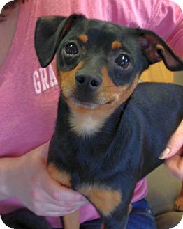 Miniature Pinscher/Dachshund Mix Dog for adoption in Knoxville, Tennessee - Carlos