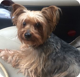 Yorkie, Yorkshire Terrier Dog for adoption in Fairview Heights, Illinois - Pebbles